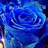Япония станет первой страной мира, где в продажу поступят натуральные синие розы