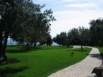 Дорожка в оливковой роще