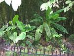Бананы на фоне бамбуковых зарослей