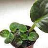 Узамбарская фиалка - от листа до розетки: выращивание и уход.