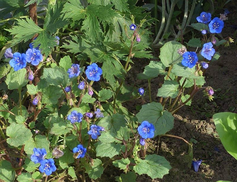 Колокольчики цветы сорт 29