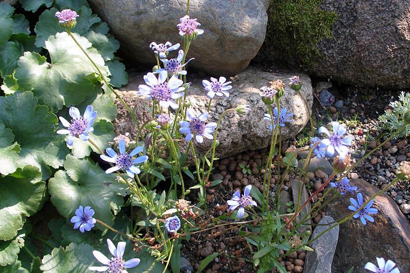 Фелиция цветы выращивание 66