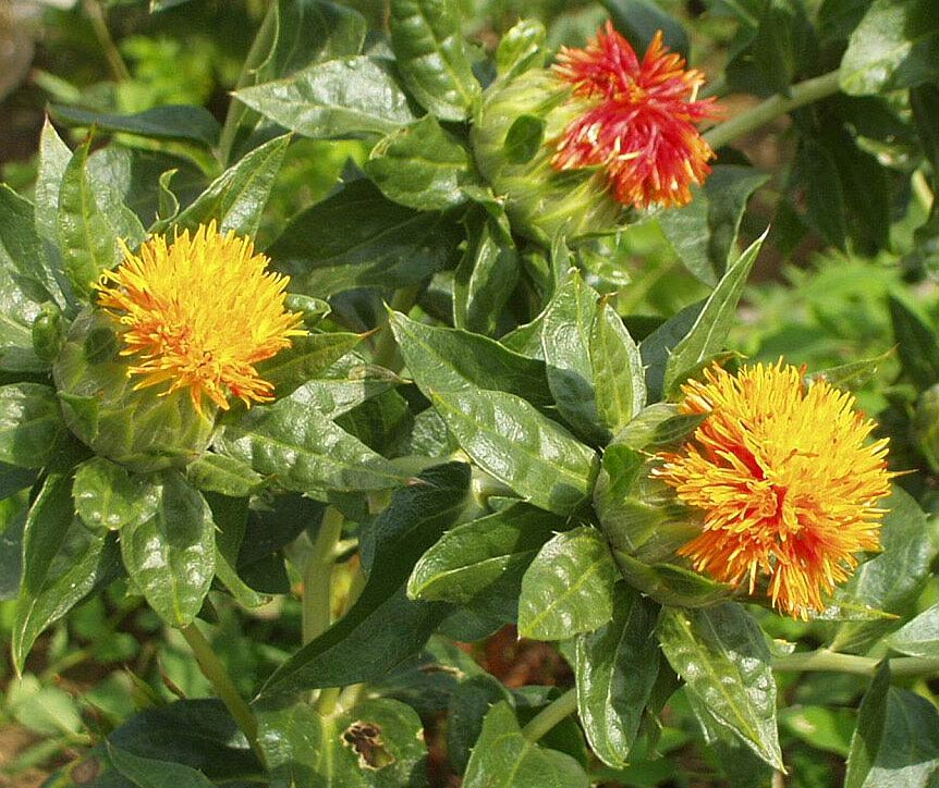 Агротехника выращивания сафлора