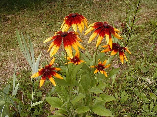 Садовые цветы многолетние